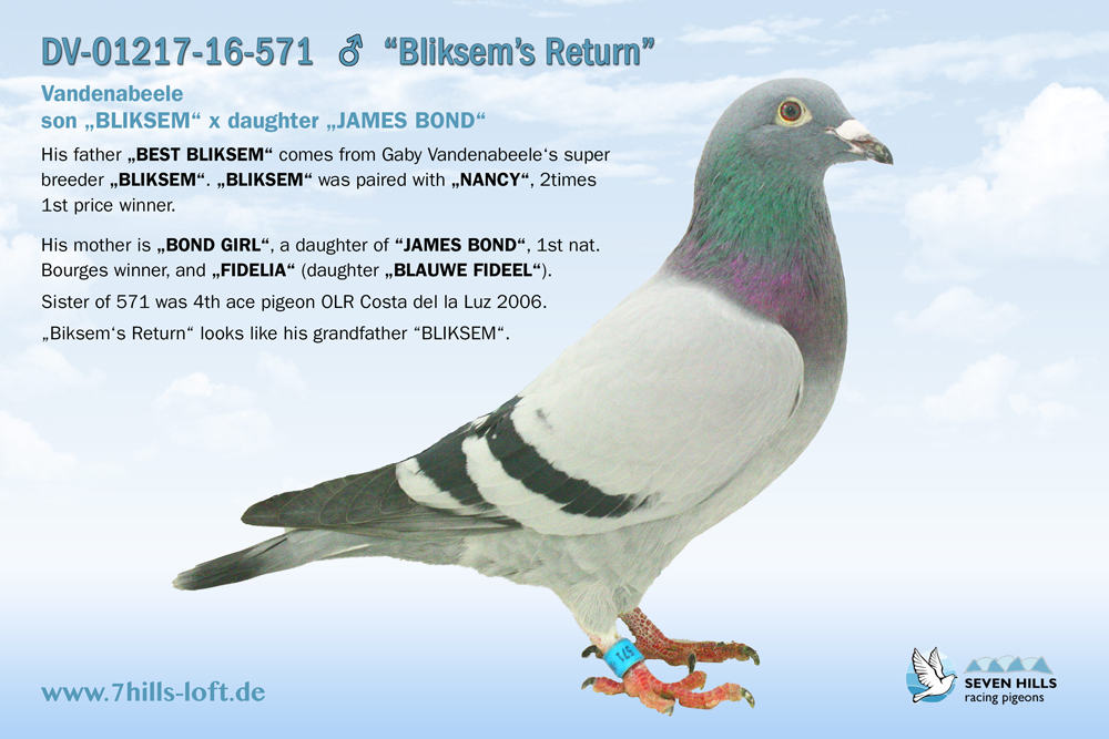 gallery seven hills racing pigeons. Black Bedroom Furniture Sets. Home Design Ideas